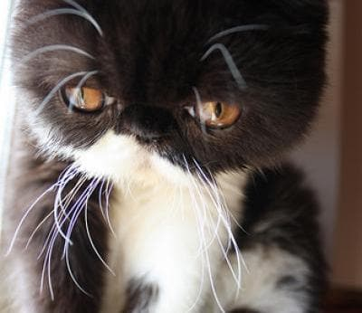 Exotic Shorthair Cats Exotic Shorthair Cat Breed Info