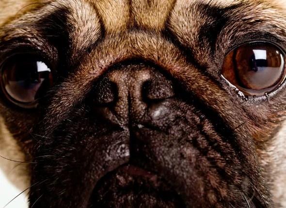 Eye Inflammation Anterior Uveitis In Dogs