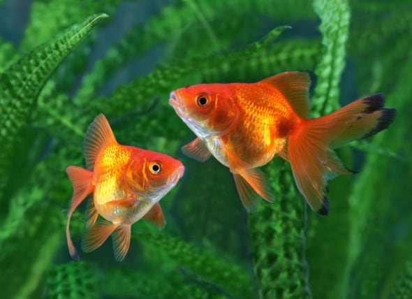 How to Take Care of a Goldfish | PetMD