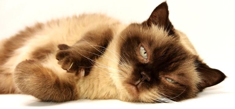 Liegende Katze