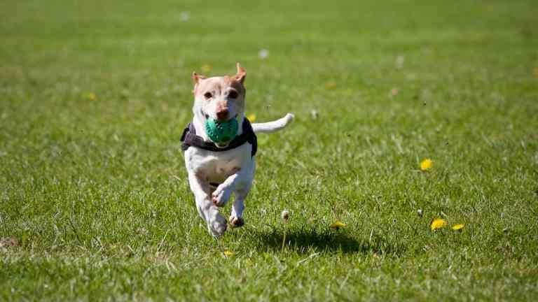 Hund mit Geschirr apportiert Ball