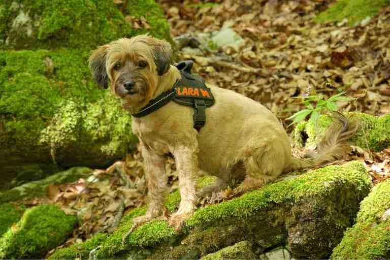 Hund sitzt mit Hundegeschirr im Wald