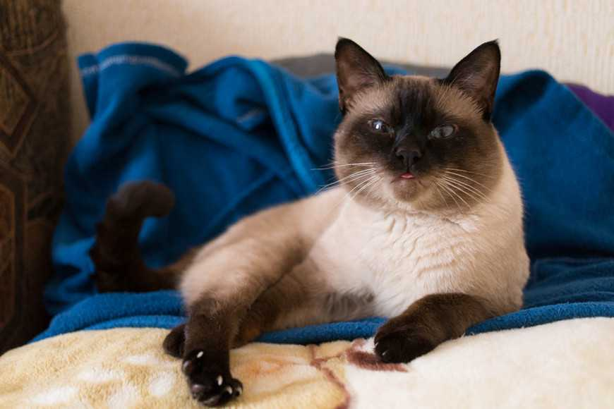 Siamese cat-2
