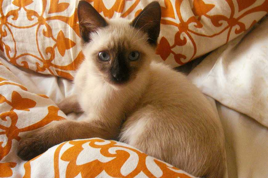 Siamese cat-3