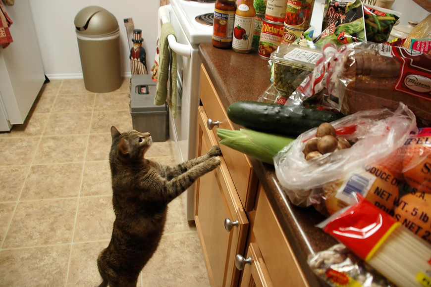 Why Your Cat Shouldn't Go Vegan-2