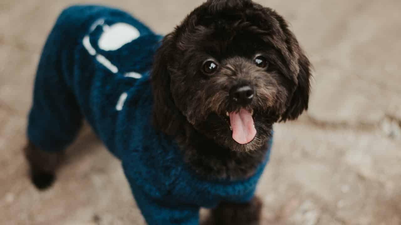 Köpekler Kışın Kıyafet Giymeli Mi?