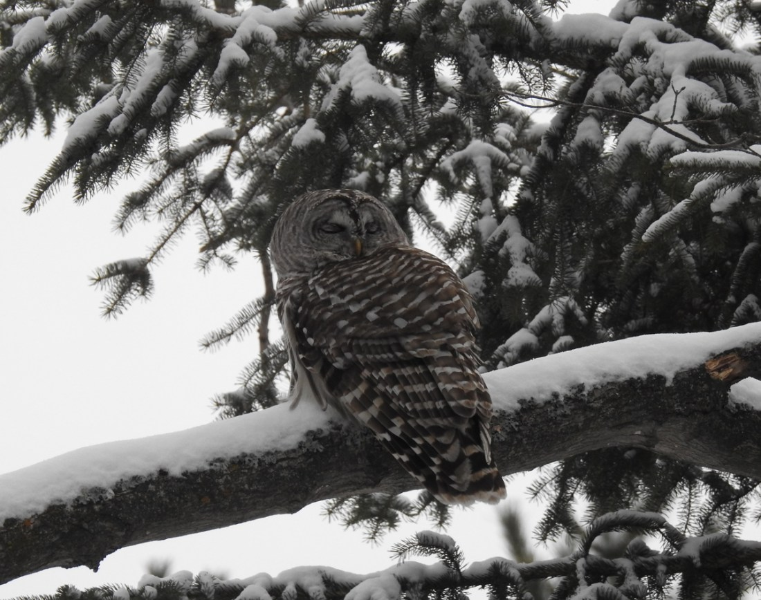 "Diane May's ""Owl on a Snowy Day"""
