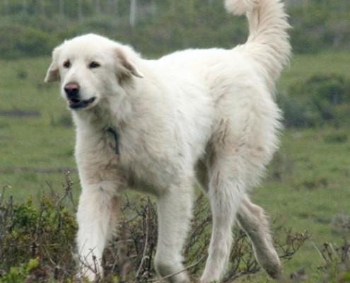 Extra Large Dog Breeds Archives Pet Paw