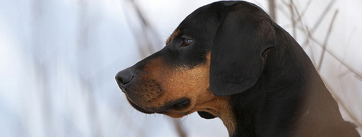 Image result for black and tan hound with trimmed ears and tail images