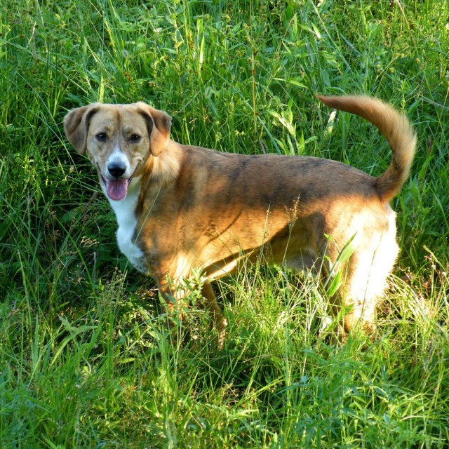 Mountain Cur Breed Guide - Learn about the Mountain Cur.