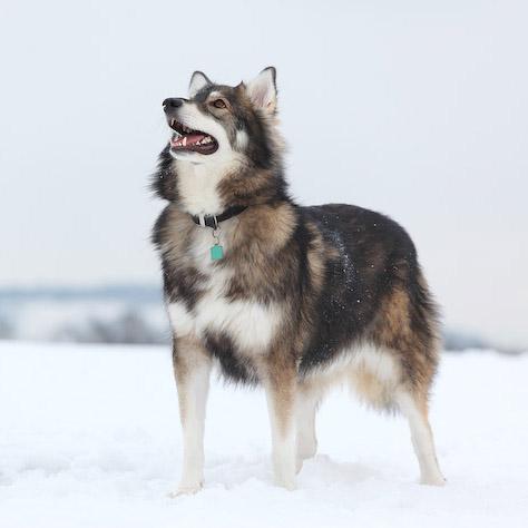 Utonagan Breed Guide Learn About The Utonagan