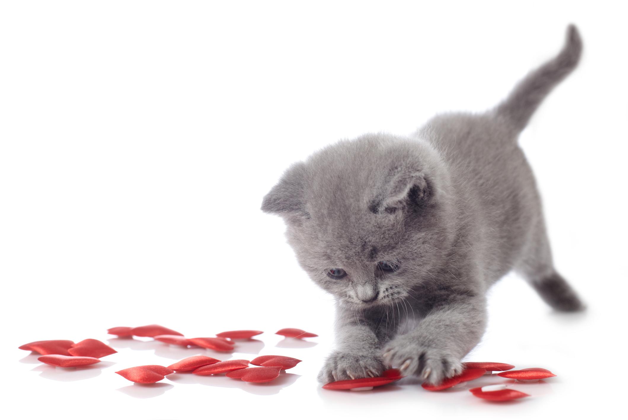Cat Valentines Day Wwwpixsharkcom Images Galleries