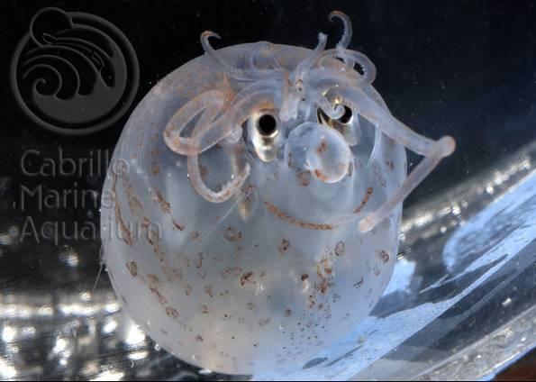 Pigmentação cria sorriso em lula de aquário nos EUA