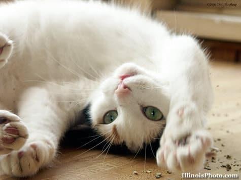 Catnip: conheça a erva que atrai e acalma os gatos