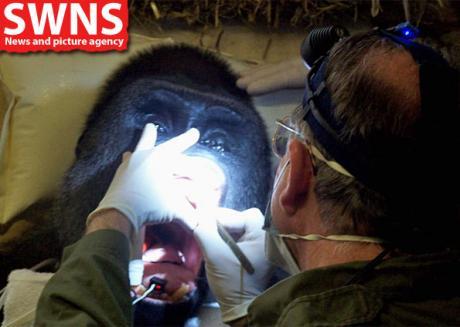 Dentista de animais cuida de dor de dente de gorila de 180 kg