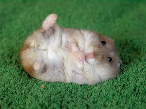 Preferido entre as crianças, os roedores também podem ser seu bicho de estimação