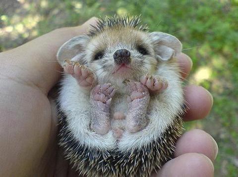 Você já viu um ouriço de estimação (hedgehog)?
