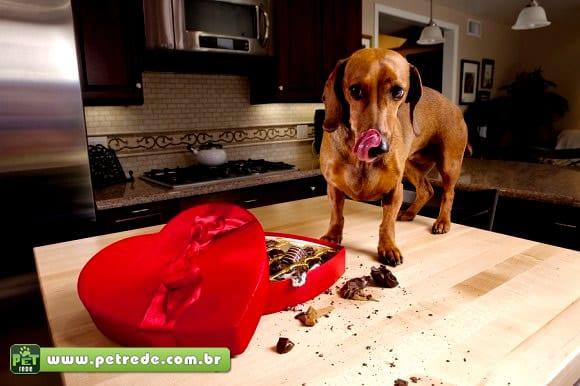 Chocolate é um grande veneno para o animal doméstico