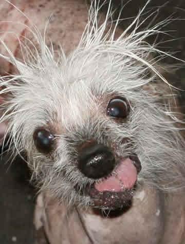 Alvo de brincadeira, cão mais feio do Reino Unido perde último tufo de pelo