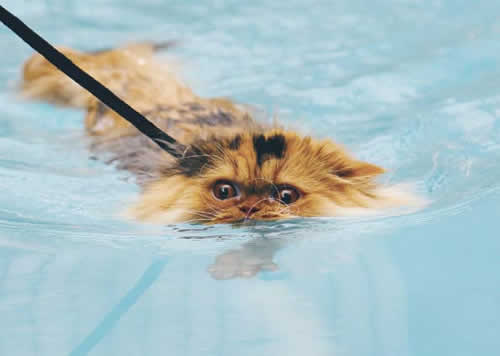 Conheça 'Prinny', o gato que gosta de nadar