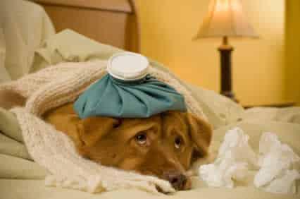 Proteja seu cão contra a gripe canina neste inverno