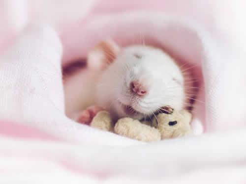 Ratos riem quando sentem cócegas