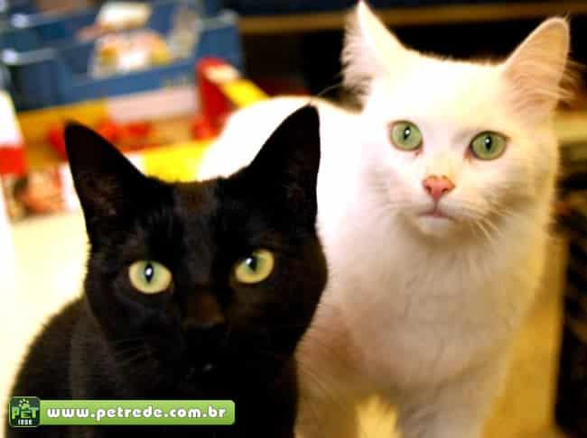 gato-preto-branco-olhar-atencao-petrede