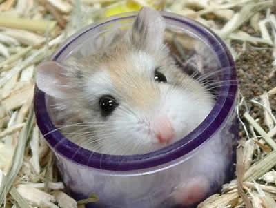 Leva um hamster: ele não custa caro, é sociável e muito independente