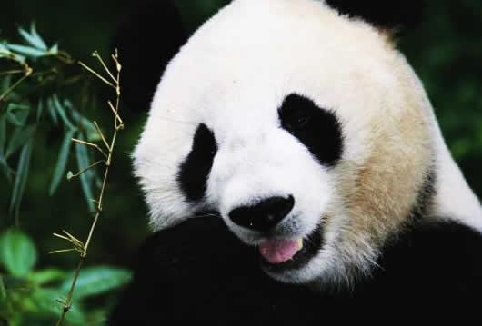 Por que o urso panda não come carne?