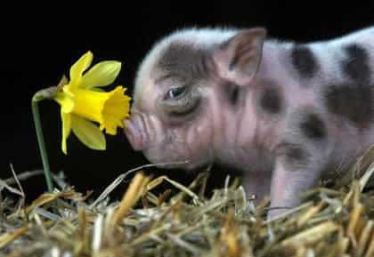 Conheça um bicho que parece porco, mas não é