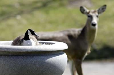 Nasce ninhada de gansa que era protegida por veado em cemitério