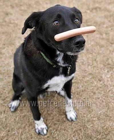 cachorro-adestramento-salsicha-petrede