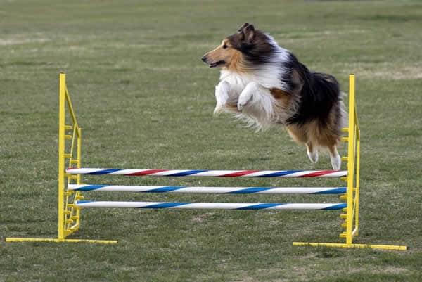 agility-collie-salto-petrede