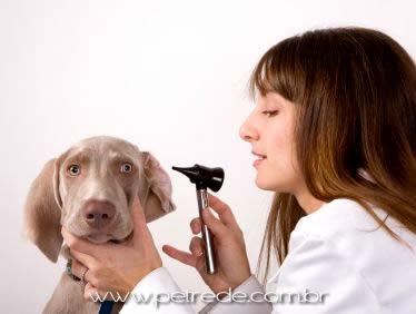 Má higienização das orelhas pode causar Otites nos pets