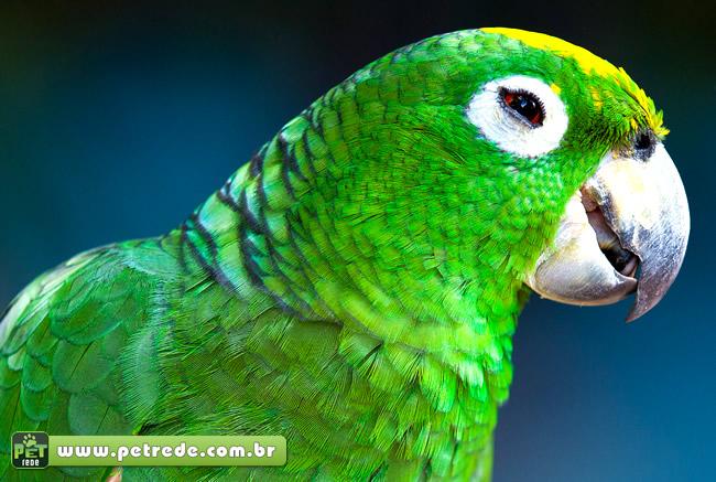 papagaio-ave-olhar-sorriso-petrede