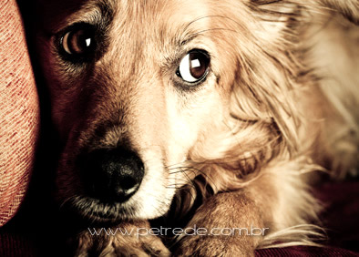 cachorro-olhar-medo-petrede