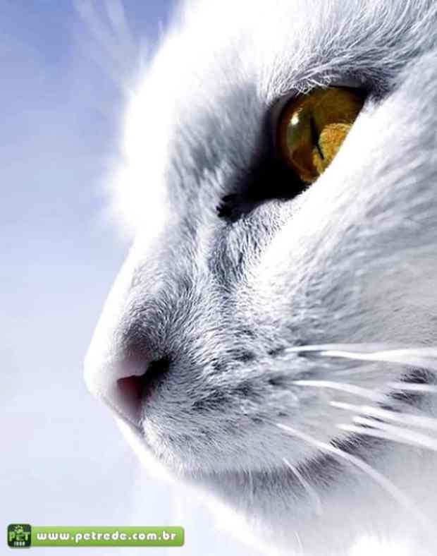 gato-branco-olhar-rosto-perfil-petrede
