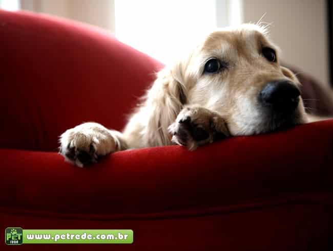 Qual o melhor cão para apartamento