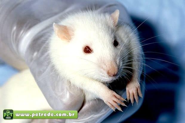 rato-cobaia-laboratorio-experiencia-petrede