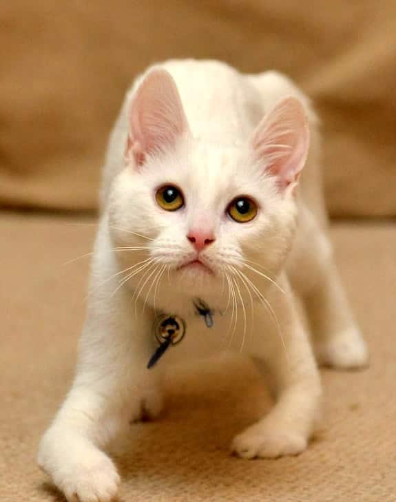 gato-sem-ossos-nas-patas