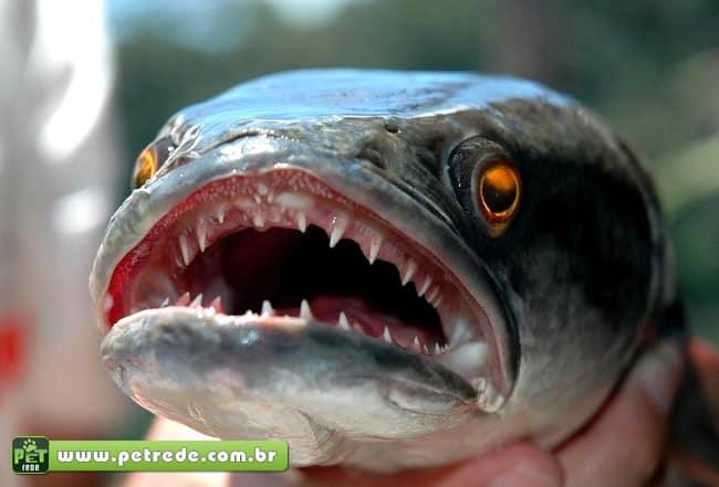 peixe-cabeca-de-cobra-petrede