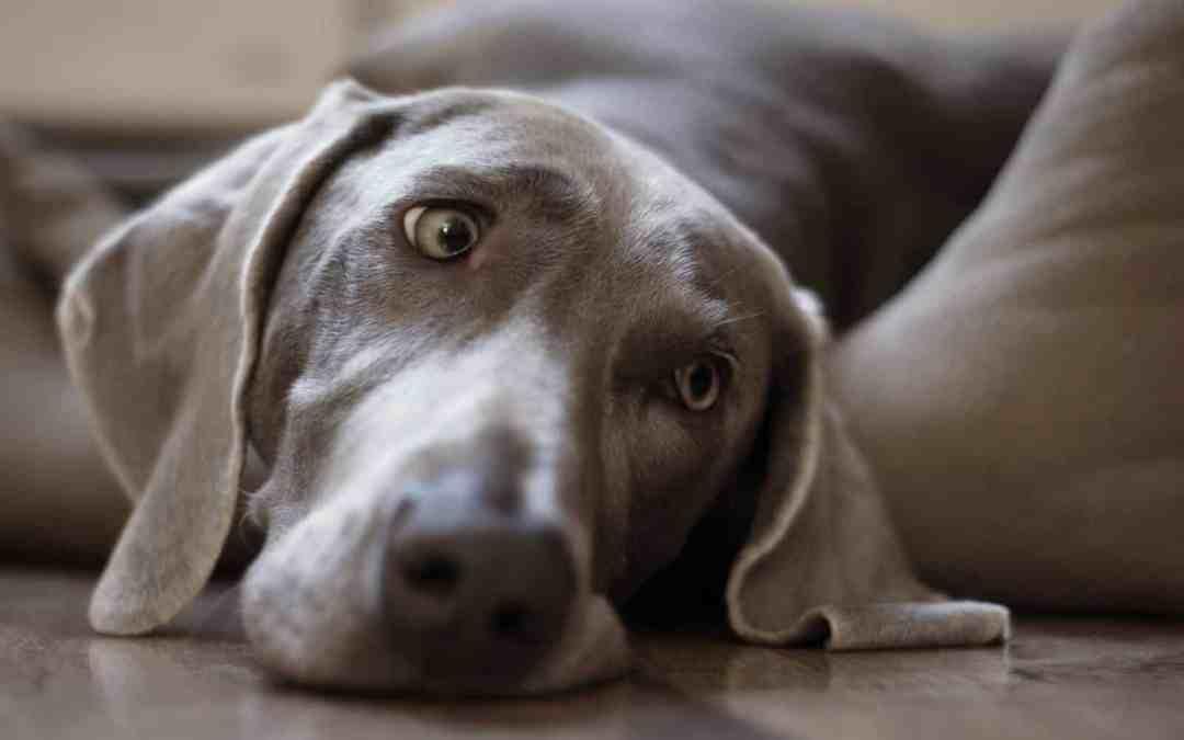 Cachorros com pedigree estão ficando tolos