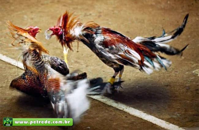 briga-rinha-de-galos-combate-petrede