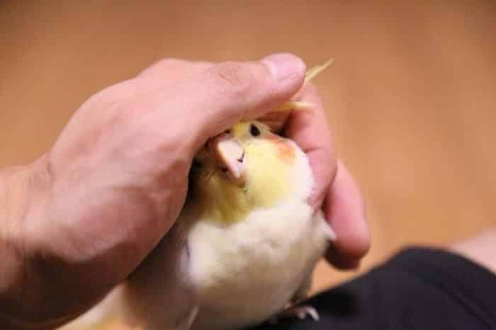 A história da Calopsita - Conheça um pouco da história dessa ave tão simpática