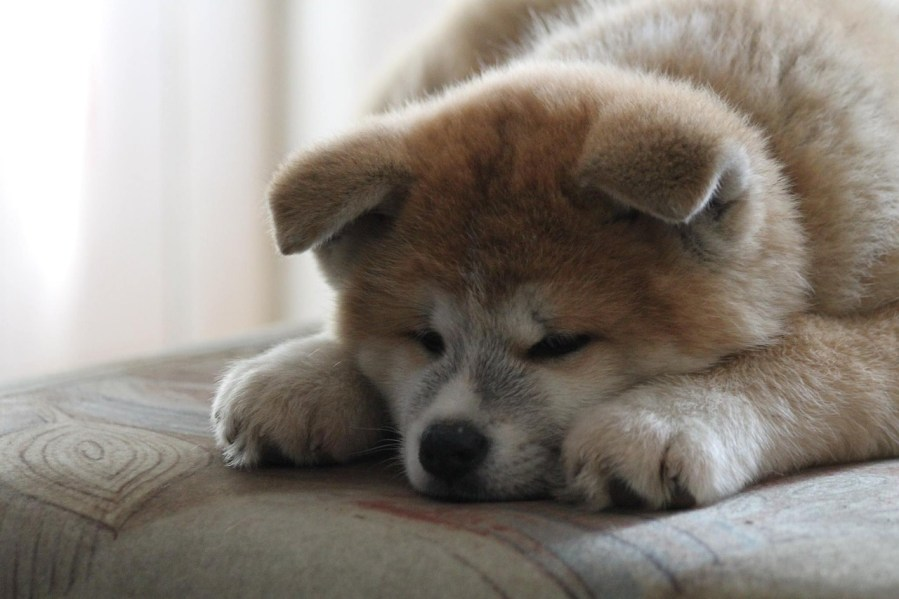 Akita Dog Breed - Complete Profile, History, and Care. https://www.petspalo.com