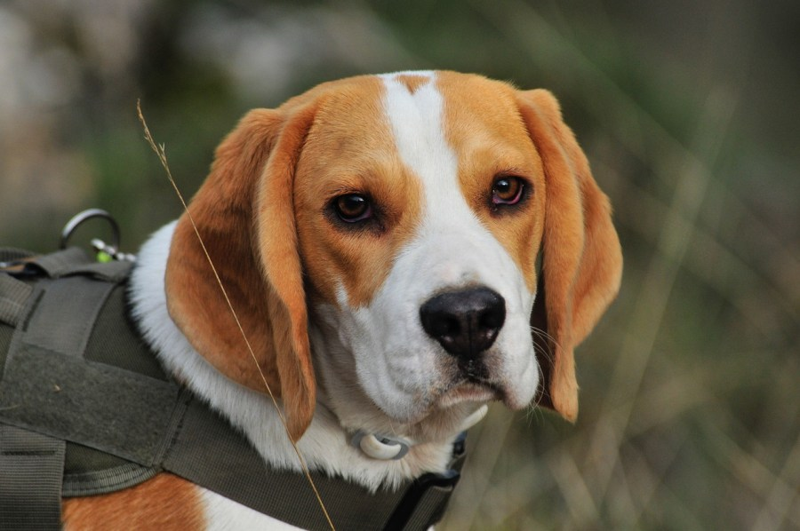 Beagle Dog breed – Complete Profile, History, and Care. https://www.petspalo.com