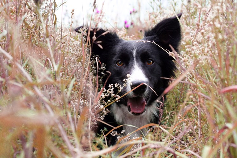 Border Collie Dog breeds - Complete Profile, History, and Care. https://www.petspalo.com