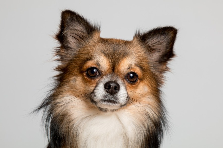 Chihuahua Dog Breeds - Complete Profile, History, and Care. https://www.petspalo.com