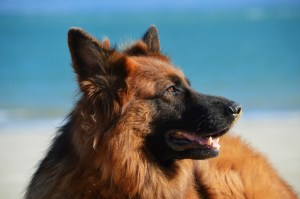 German Shepherd Dog breed - All you need to know. https://petspalo.com
