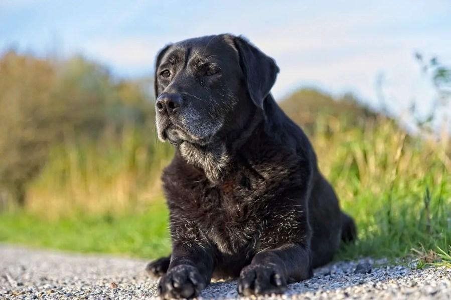 Labrador Retriever - Complete Profile, History, and Care. https://www.petspalo.com